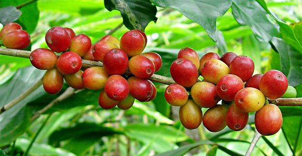 Ethiopia To Triple Coffee Production